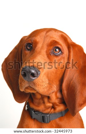 coon hound dog looking up to the left four month old - stock photo