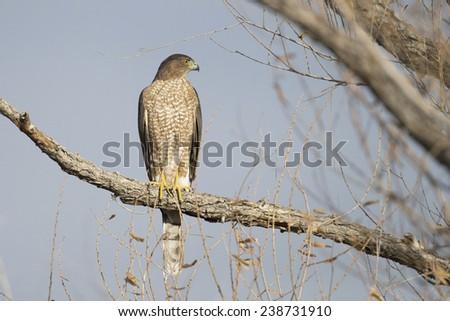 Cooper's Hawk - stock photo