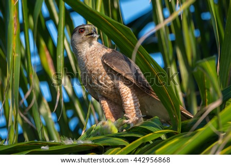 Cooper's Hawk caught  a Quaker Parrot chick and it is eating  the prey/Cooper's Hawk/hawk perched in tree - stock photo
