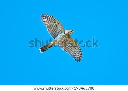 Cooper's Hawk flying overhead in the sky. - stock photo
