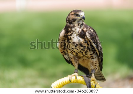 Cooper's Hawk (Latin name Accipiter cooperii ) on a perch in Coaldale, Alberta, Canada - bokeh background