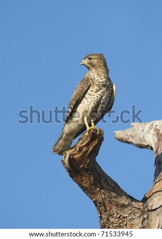 Cooper's Hawk looking over shoulder on large tree branch with blue sky background - stock photo