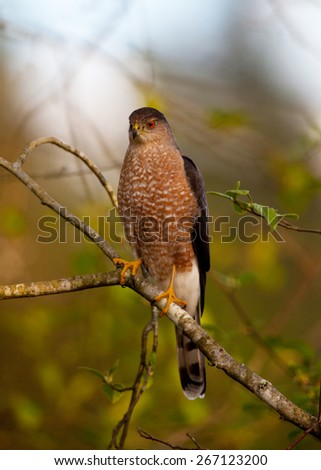 cooper's hawk male. perched in a tree - stock photo