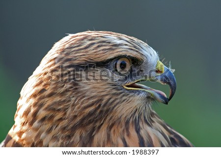 Coopers Hawk - stock photo