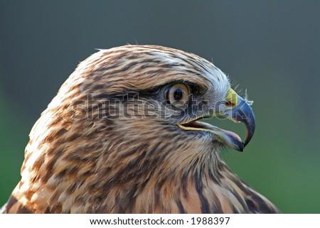 Coopers Hawk - stock photo