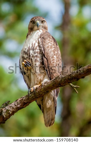 coopers hawk perched on tree watching for small prey - stock photo