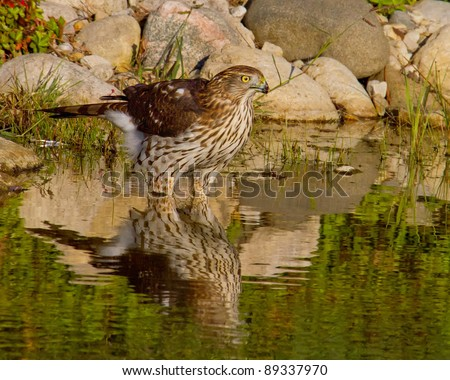 Coopers Hawk Standing In Pond With Reflection - stock photo