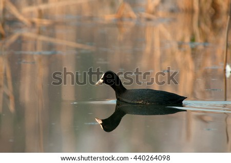 Coot (Fulica atra) Coot (Fulica atra) at dawn early spring, floats on the lake,clearly visible details of plumage, red eye and a mirror image of the bird in the water. Poland in March. horizontal view - stock photo