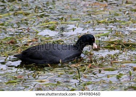 coot marsh bird lakes and rivers europe Italy Lake Garda - stock photo