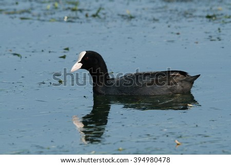 coot marsh bird lakes and rivers europe Italy Lake Garda