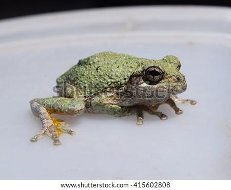 Cope's gray treefrog Hyla chrysoscelis - stock photo