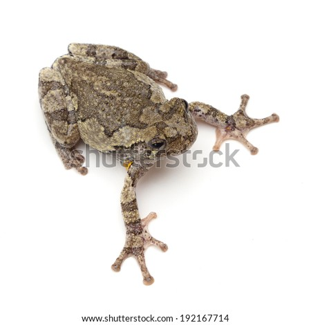 Cope's Gray Treefrog (Hyla chrysoscelis) on a white background - stock photo
