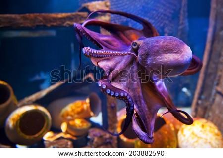 COPENHAGEN, DENMARK - JULY 1: Octopus in Blue Planet National Aquarium Denmark on July 1, 2014 in Copenhagen - stock photo