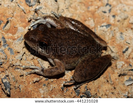 Copland's rock frog or the saxicoline tree frog a frog in the family Hylidae. It is endemic to Australia, in a range extending from the Kimberley region of Western Australia to Arnhem Land. - stock photo