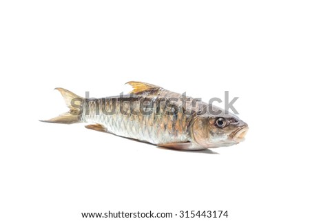 Copper mahseer fish or ikan Tengas on isolated background