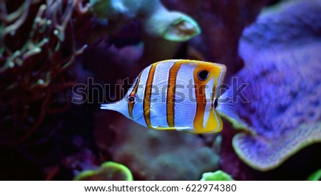 Copperband butterfly shelmon fish