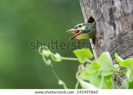 Coppersmith Barbet(Megalaima haemacephala), A chick waits for his feed from mother, Thailand. - stock photo
