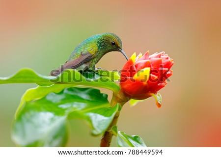 Hummingbirds nectar suck vaccum