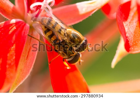 Copulation of flower-fly on blossom. Macro photo, low depth of focus ...