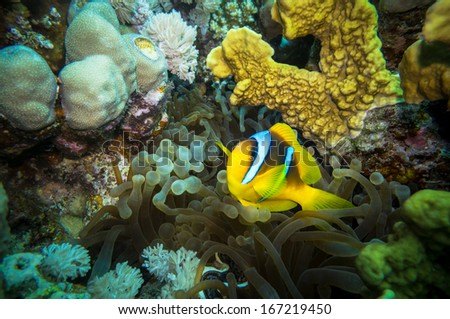 Coral and clown fish in the Red Sea.Egypt