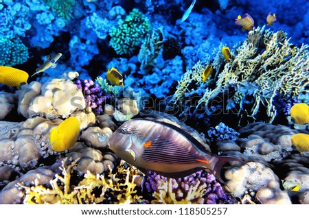 Coral and Fish-surgeon  in the Red Sea. Egypt, Africa
