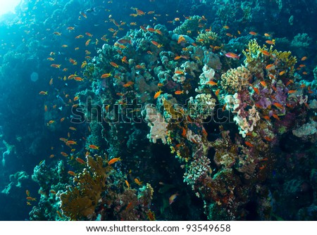 Coral and fishes in the Red Sea, Egypt.