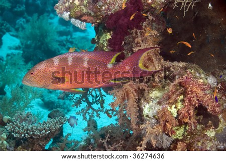 coral and  lyretail grouper