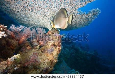 coral and spadefish