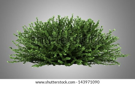 coral beauty bush isolated on gray background - stock photo
