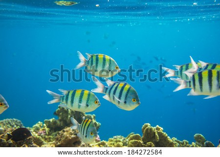 Coral fish in  Red Sea,Egypt