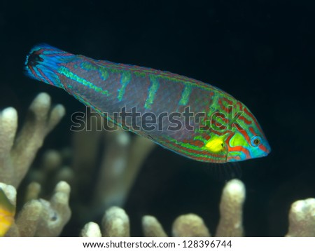 Coral fish Tail-spot wrasse - stock photo