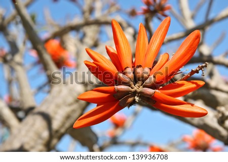 Coral   flower (Erythrina) crawling on a tree - stock photo