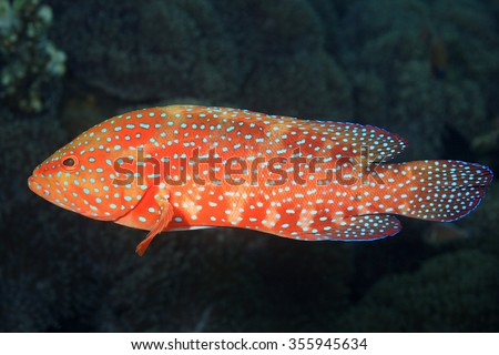 Coral Grouper, also known as Coral Cod and Coral Hind. Cephalopholis miniata. Tulamben, Bali, Indonesia. Bali Sea, Indian Ocean - stock photo