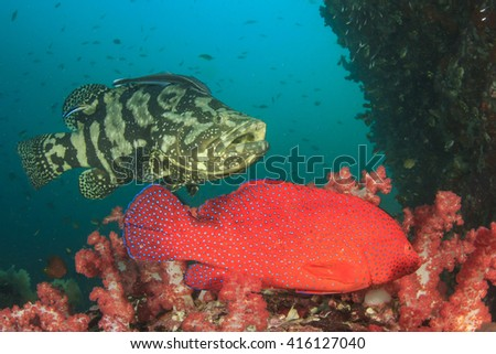 Coral Grouper and Marbled Grouper fish