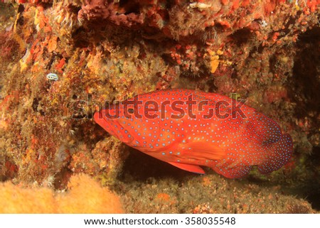 Coral Grouper fish trout cod red - stock photo