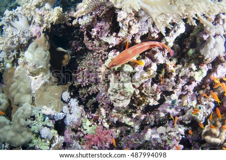 Coral hind grouper (Cephalopholis miniata) in the coral reef, Red sea.