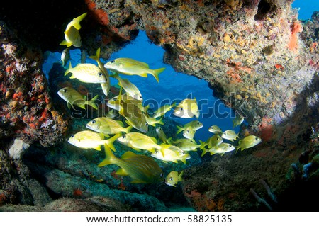 Coral Ledge with school of French Grunts underneath, picture taken in Broward County Florida - stock photo