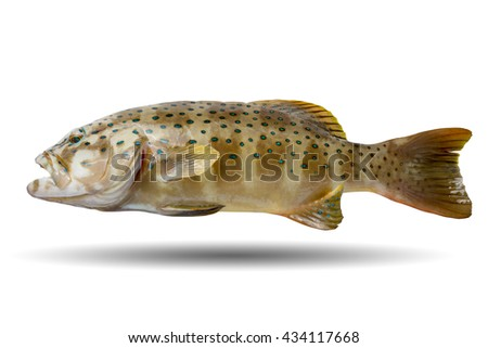 Coral leopard grouper fish/swimming cod fish/colorful spotted rock cod/fish isolated on white background/swimming fish/popular fish food in restaurant - stock photo