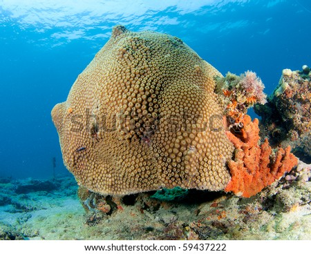 Coral Mound made of Great Star Coral(Montastrea cavernosa), picture taken in Broward County, Florida. - stock photo