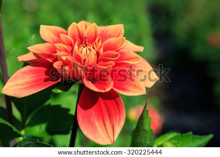 Coral orange dahlia flower is a herbaceous perennial plant in an outdoor autumn garden.