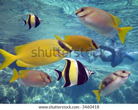 Coral Rabittfish / Sinefoot (Siganus Corallinus) and Moorish Idols (Zanclus cornutus) swimming in clear water. - stock photo