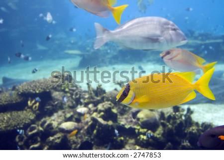 Coral Rabittfish / Sinefoot (Siganus Corallinus) swimming in clear water. - stock photo