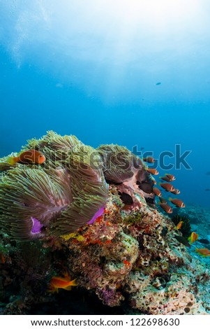 Coral reef and anemone fish scuba dive in maldives - stock photo