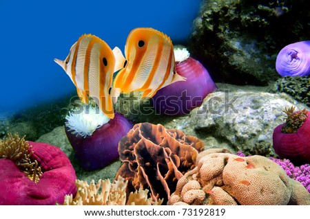 Coral reef and Copperband butterflyfish (Chelmon rostratus) - stock photo