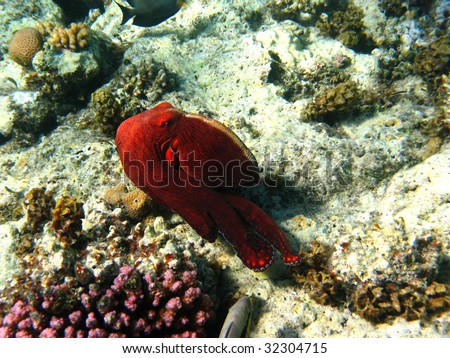 Coral reef and octopus in Red sea