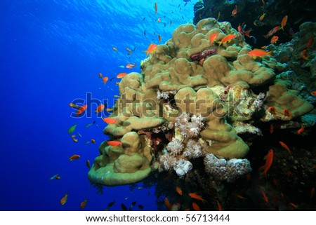 Coral reef and tropical fish in blue water - stock photo