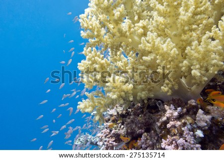 coral reef and yellow broccoli coral at the bottom of tropical sea on a background of blue water - stock photo