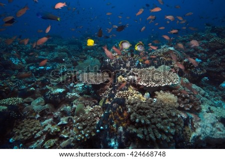 coral reef, Anthias reef fish schooling