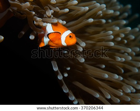 Coral Reef Clownfish - stock photo