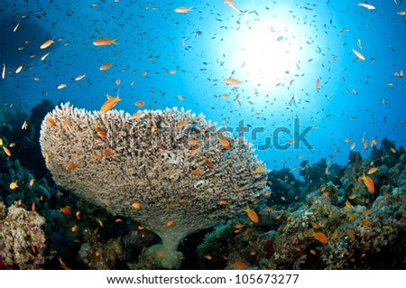 coral reef in the Red Sea in clear blue water